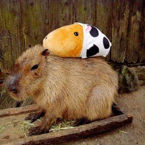 Kotaro_CapybaraKapibarasan.jpg